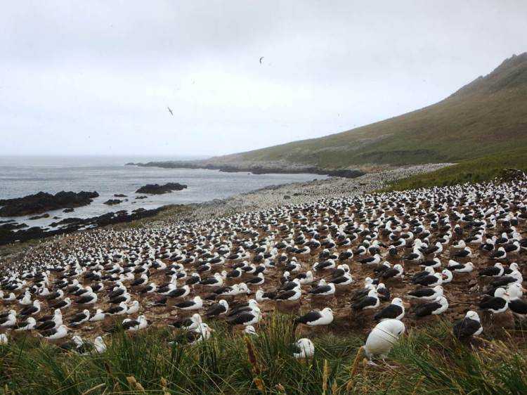 Thousands of albatrosses in a nesting ground