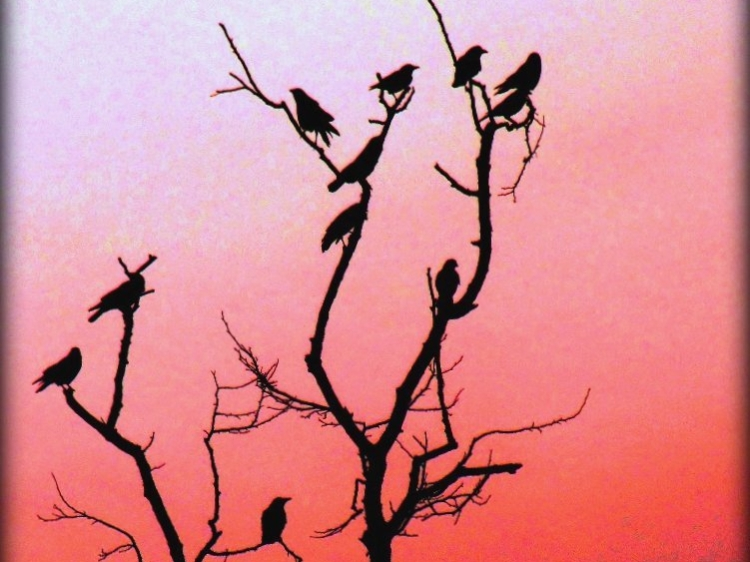 Crows perched on a leafless tree, silhouetted by a red and pink sunset